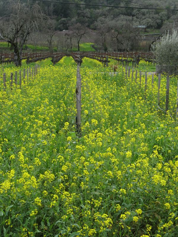mustard and the vines