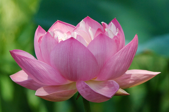 Lotus Flower Inspiration
